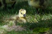 picture of pine-needle  - Newborn Gosling Wearing a Pine Needle Hat - JPG