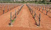 stock photo of grape  - Grape Vineyard field with grape plants in a row from Crete island in Greece - JPG