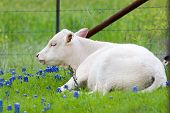 picture of calves  - Young calf resting in a field of Texas Bluebonnets - JPG