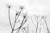 pic of parsnips  - Abstract silhouettes of umbrellas dry inflorescences parsnip Sosnowski  - JPG