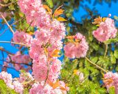 pic of fukushima  - Perfect blossom - JPG