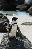 image of jackass  - African Penguins  - JPG