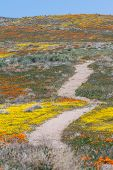 image of antelope  - Early spring flowers blooming along the walking trail of the Antelope Valley Poppy Preserve in California - JPG