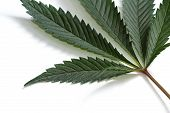 foto of marijuana leaf  - close up with selective focus of a marijuana leaf on a white background - JPG