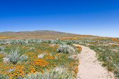 stock photo of antelope  - Early spring flowers blooming along the walking trail of the Antelope Valley Poppy Preserve in California - JPG