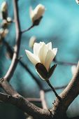 image of magnolia  - Beautiful white magnolia blossoms in the spring - JPG