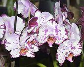 stock photo of moth  - Moth Orchid - Phalaenopsis Heavily marked white flowers - JPG