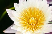 foto of water lily  - white leaf lotus flower on water photo stock water lily - JPG