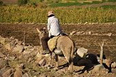 image of donkey  - Local man riding a donkey while working on a field - JPG
