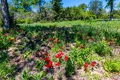 stock photo of wildflower  - Various Texas Wildflowers in Shade of Tree - JPG
