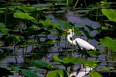 pic of water lily  - A Beautiful Great White Egret with Fish in Mouth Among Lotus Water Lilies - JPG