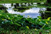 picture of water lily  - A Beautiful Field of Yellow Lotus  - JPG