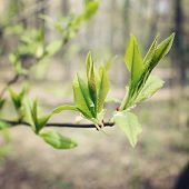 pic of bud  - Buds and branches macro background  - JPG