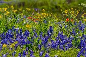 foto of texas star  - Beautiful Texas Field Blanketed with the Famous Texas Bluebonnet (Lupinus texensis), Indian Paintbrush, and Plains Coreopsis(Coreopsis tinctoria) Yellow Wildflower Blowing in the Wind in Texas