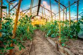picture of tomato plant  - Tomatoes Vegetables Growing In Raised Beds In Vegetable Garden And Hothouse - JPG