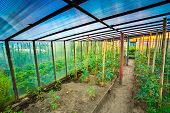 stock photo of tomato plant  - Tomatoes Vegetables Growing In Raised Beds In Vegetable Garden And Hothouse - JPG