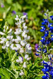 pic of bluebonnets  - Closeup of a Rare White Texas Bluebonnet  - JPG