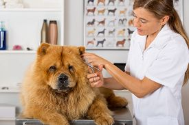 foto of chow-chow  - Canine hairdresser in a beauty clinic with Chow Chow - JPG