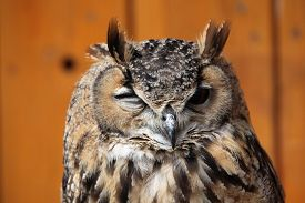 stock photo of owls  - Indian eagle - JPG