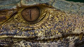 stock photo of crocodilian  - Very close macro photograph of a caiman showing detailed eye and teeth - JPG