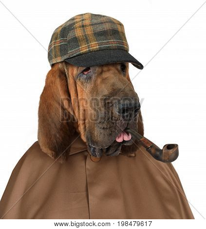 Bloodhound dog dressed