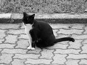 Black And White Domestic Cat poster