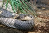 stock photo of king cobra  - Detail from indian king cobra - JPG