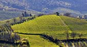 stock photo of farmworker  - Vineyard in Tuscany in spring - JPG