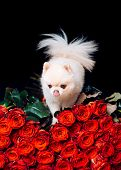 Pomeranian Spitz. Fashionable Doggy On Roses. A Gift For A Glamorous Girl. Cute White Puppy. Pet. Do poster