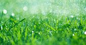 Grass with rain drops. Watering lawn. Rain. Blurred Grass Background With Water Drops closeup. Natur poster