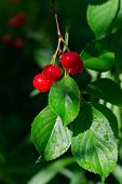 Ripe Cherry Hanging On Branch. Red Berries Of Cherry Hang On Tree In Sunny Rays. Sun Lights Illumina poster