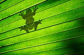 image of tree frog  - Shadow outline of a frog sitting on a green palm leaf - JPG