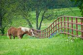 Belgian Draft Horse Grazing By A Fence On Green Texas Bluebonnet And Wildflower Pasture In The Sprin poster