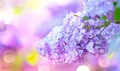Lilac spring flowers bunch violet art design background. Beautiful blooming violet Lilac flower in a poster