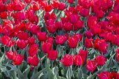 Red Tulip Flower. Flower In Garden At Sunny Summer Or Spring Day. Flower For Postcard Beauty Decorat poster