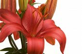 image of asiatic lily  - Beautiful Asiatic Lily Bloom on a White Background - JPG