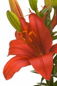 stock photo of asiatic lily  - Beautiful Asiatic Lily Bloom on a White Background - JPG