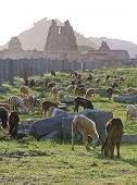 image of vijayanagara  - Goats At The Remains Of The Ancient Capital Of The South Indian Vijayanagara Empire In Hampi - JPG