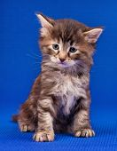 Cautious Cute Little Kitten Over Blue Background poster