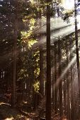 Glimmering Rays Of Morning Sun, Fog In Spruce Forest poster