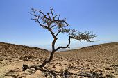 Lonely Tree near Dead Sea.