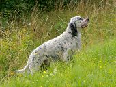 stock photo of english setter  - An English Setter in the summer meadow - JPG