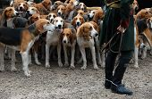 pic of foxhound  - dogs waiting for a fox hunting with a riding man - JPG