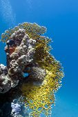 stock photo of fire coral  - coral reef with great fire coral on the bottom of red sea  - JPG