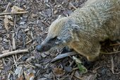 pic of nose ring  - South American coati or ring - JPG