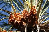 pic of tozeur  - Close up of date fruits on the date palms in the largest oasis of Tozeur in Tunisia - JPG