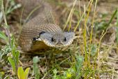 image of harmless snakes  - Harmless Western Hognosed Snake looking right at you - JPG