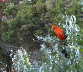 image of king parrot  - Male australian king parrot foraging in acacia trees for wattle seeds - JPG