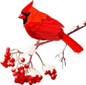 picture of cardinal  - Red Cardinal bird sitting on mountain ash branch - JPG