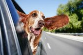 stock photo of pooch  - a basset hound in a car - JPG